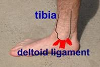 deltoid-lig-R